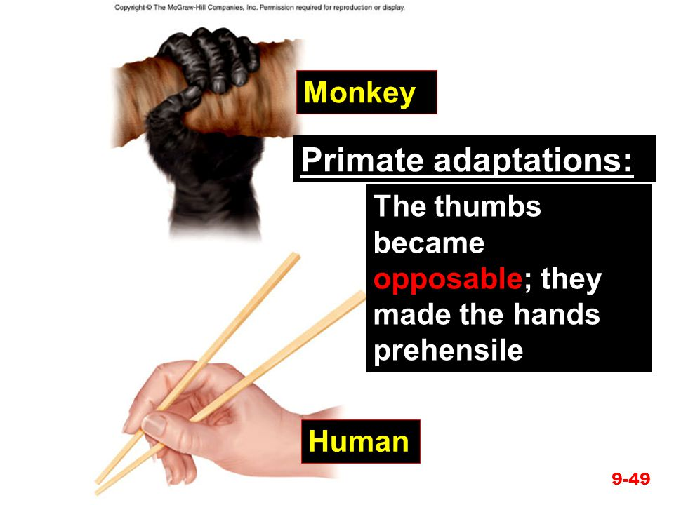 Primate adaptations: Monkey
