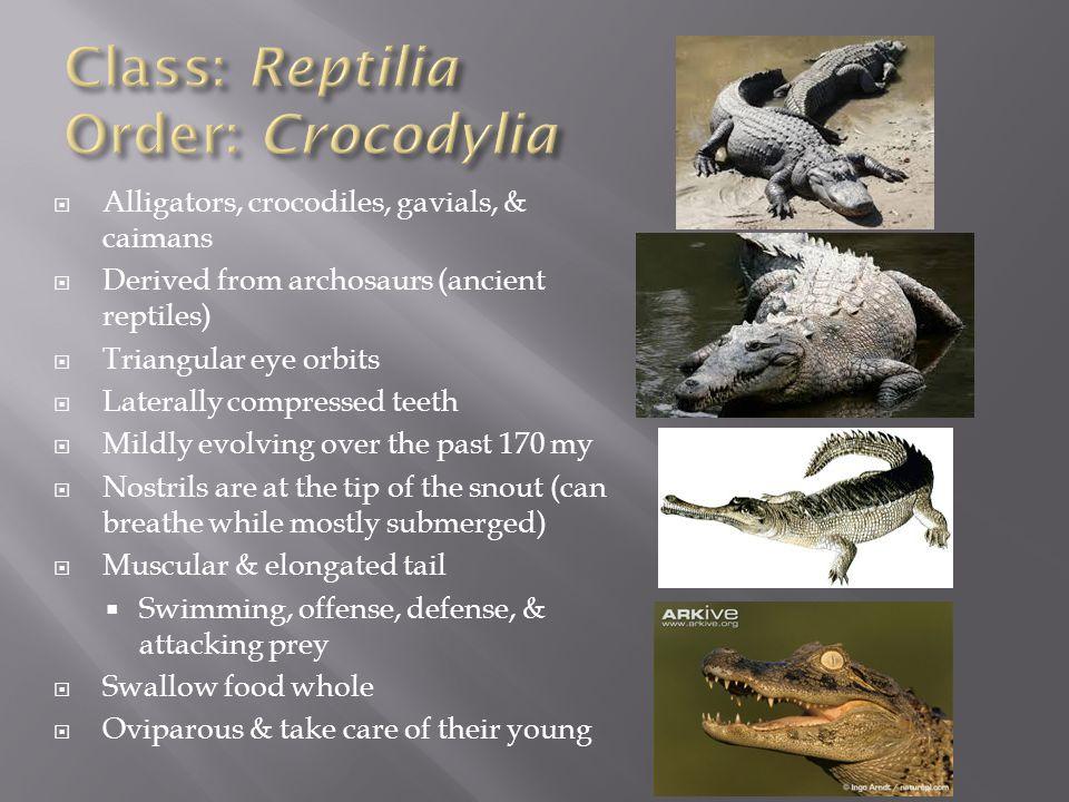 Class: Reptilia Order: Crocodylia