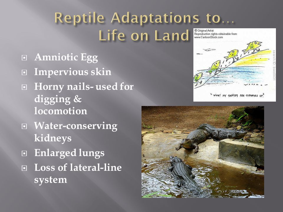 Reptile Adaptations to… Life on Land