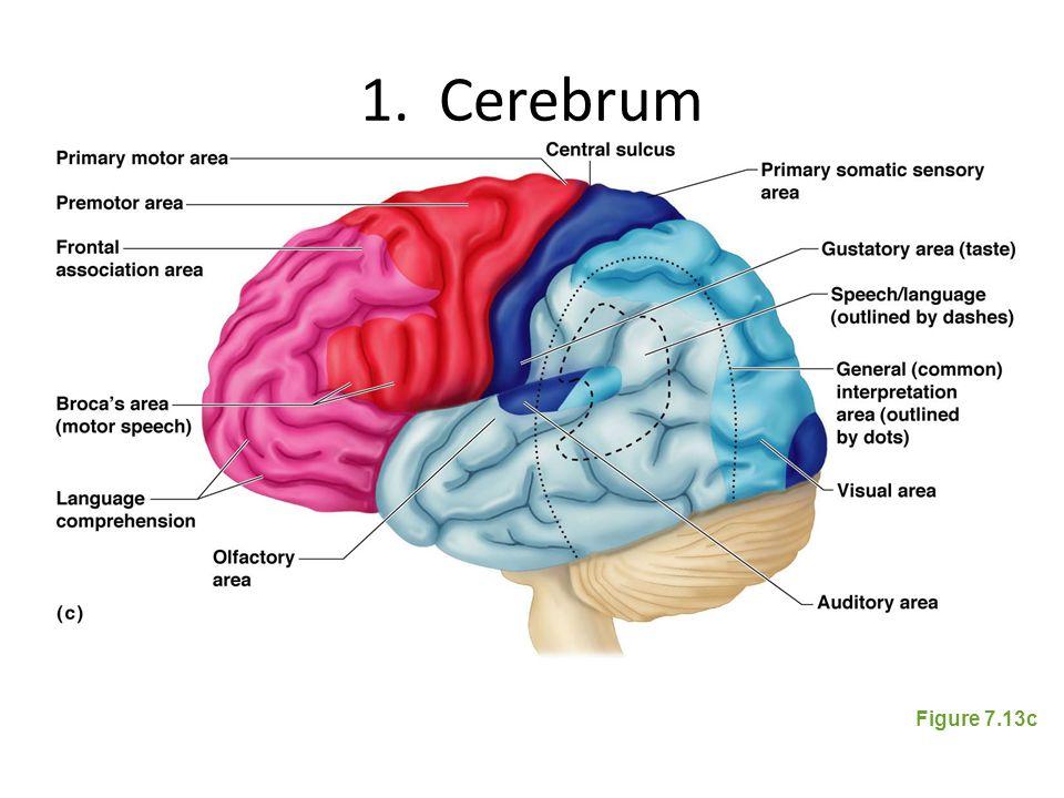 1. Cerebrum Figure 7.13c