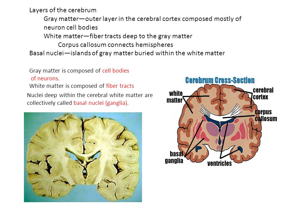 regions of the brain cerebral hemispheres cerebrum
