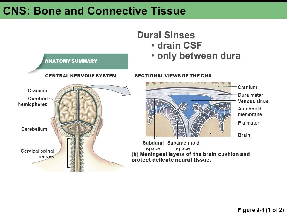 CNS: Bone and Connective Tissue