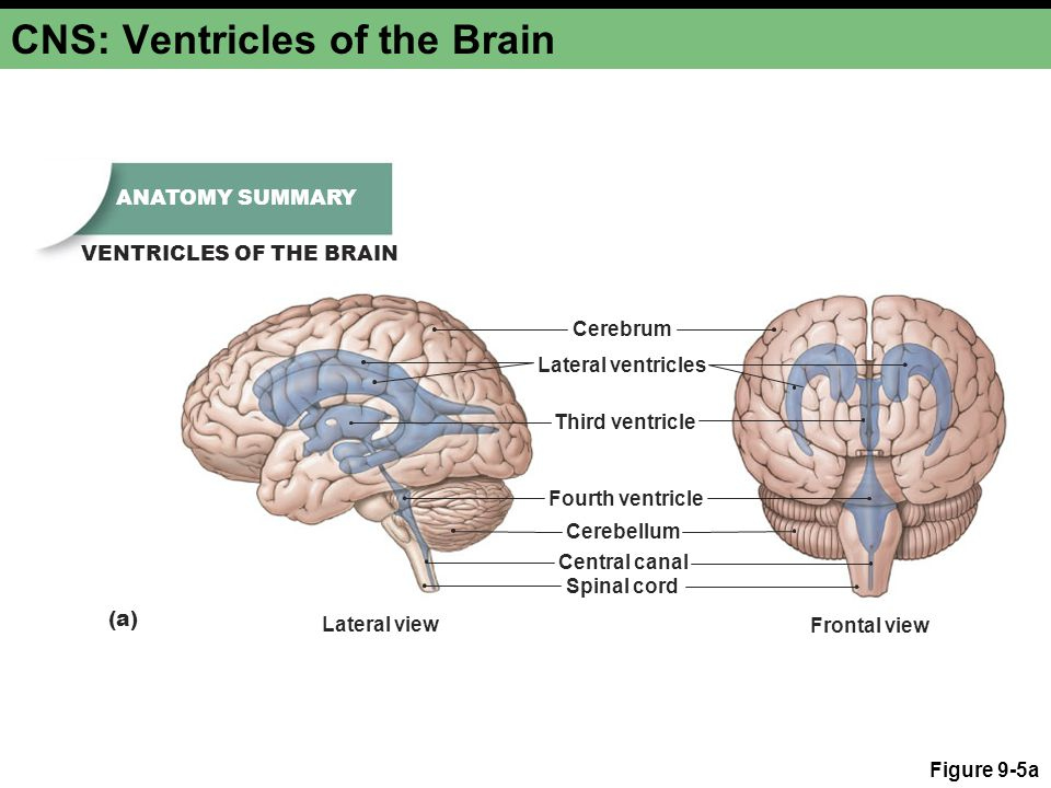 CNS: Ventricles of the Brain