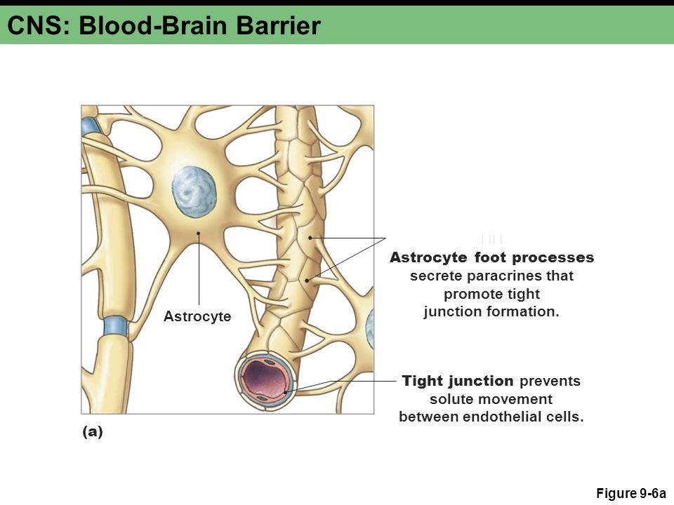 CNS: Blood-Brain Barrier