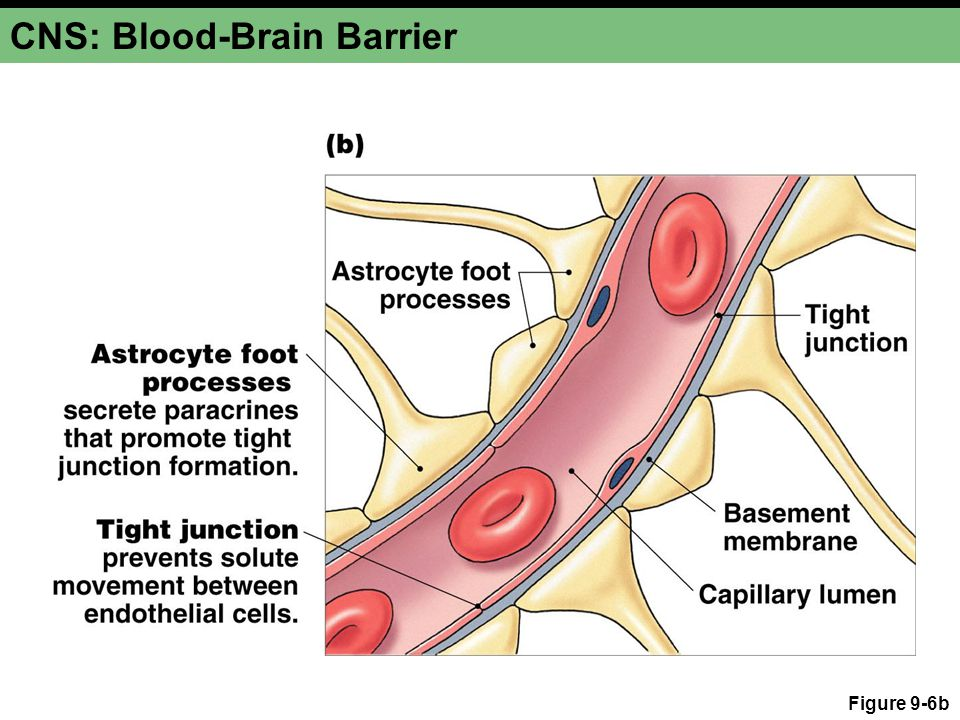 blood brain barrier essay Get expert answers to your questions in evans blue, blood brain barrier, alzheimer's disease and neurodegenerative diseases and more on researchgate, the professional network for scientists.