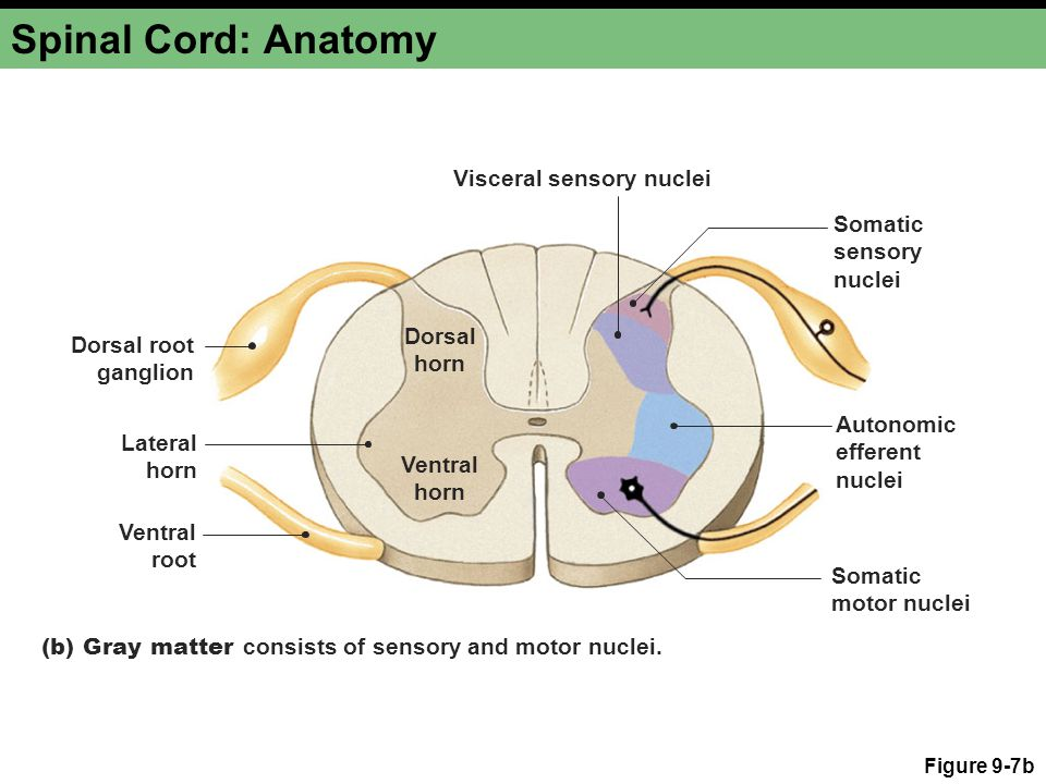 Spinal Cord: Anatomy Visceral sensory nuclei Somatic sensory nuclei