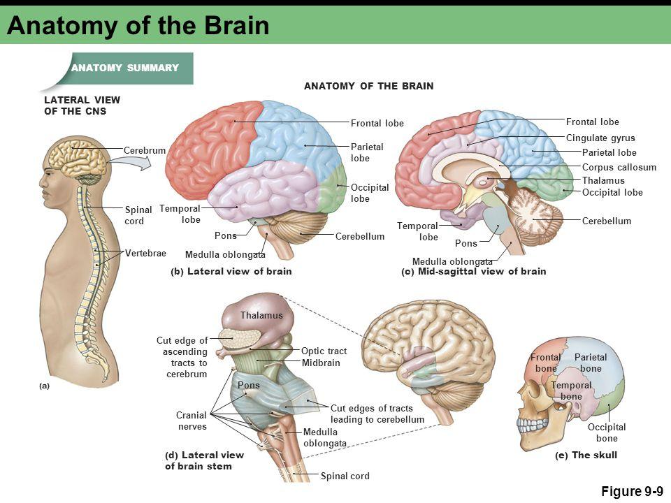 Anatomy of the Brain Figure 9-9 ANATOMY SUMMARY ANATOMY OF THE BRAIN
