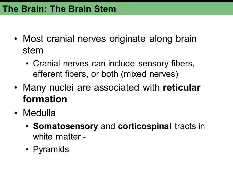 The Brain: The Brain Stem