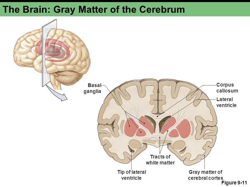 the gallery for gt cerebral cortex gray matter