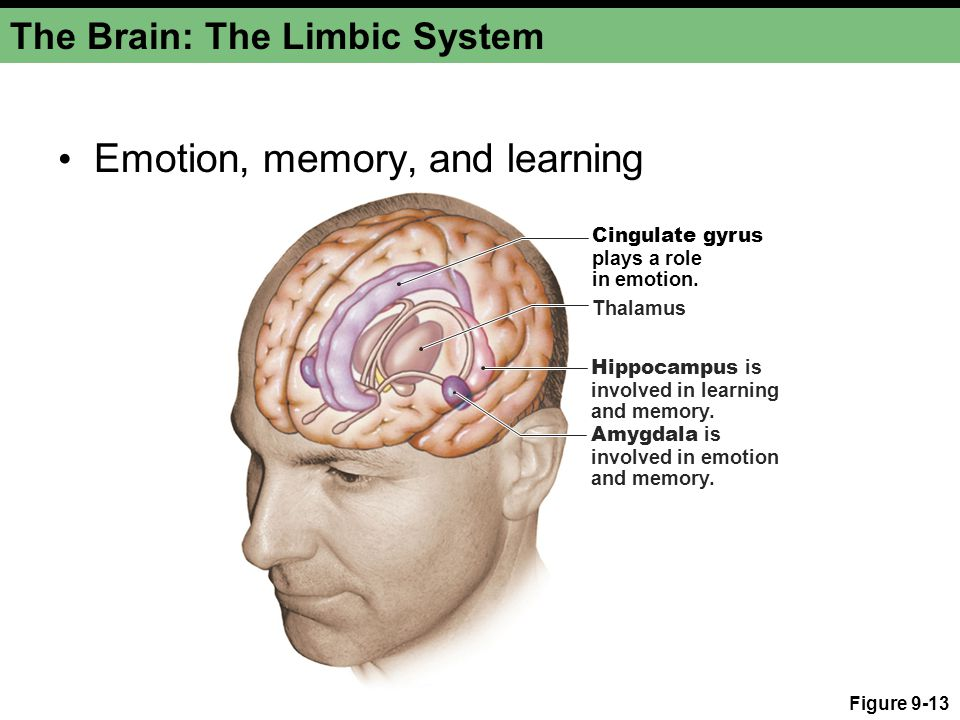 The Brain: The Limbic System