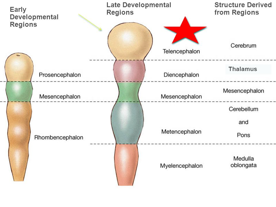 Late Developmental Regions Structure Derived from Regions