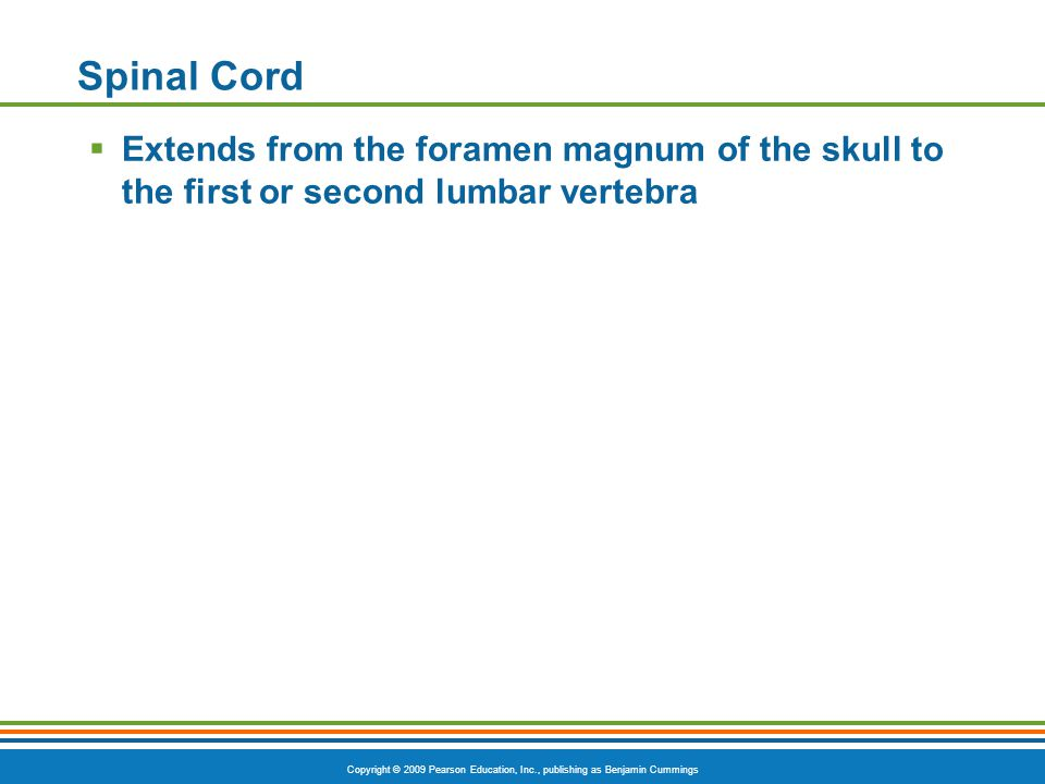 Spinal Cord Extends from the foramen magnum of the skull to the first or second lumbar vertebra