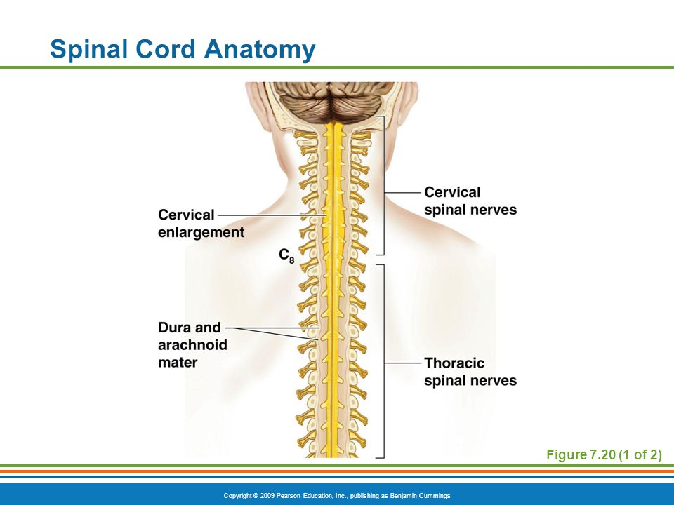 Spinal Cord Anatomy Figure 7.20 (1 of 2)