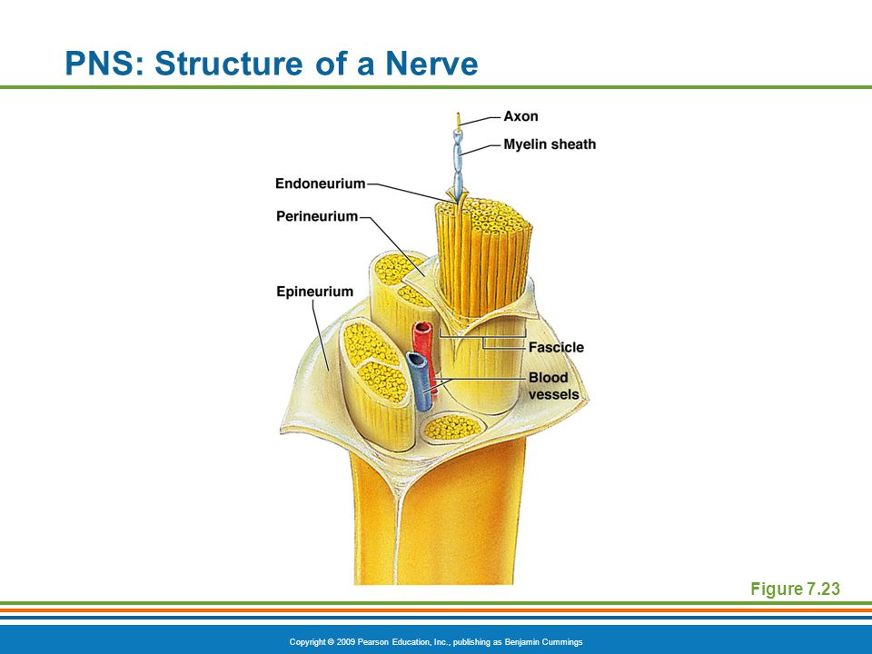 PNS: Structure of a Nerve
