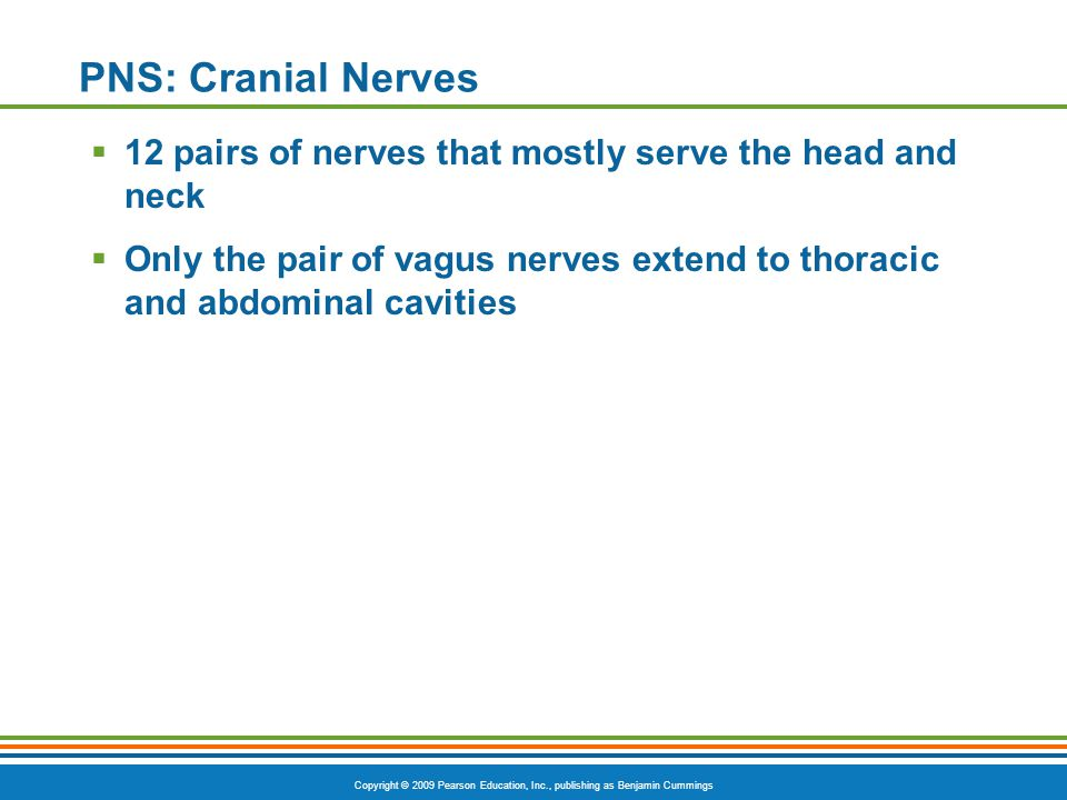 PNS: Cranial Nerves 12 pairs of nerves that mostly serve the head and neck.
