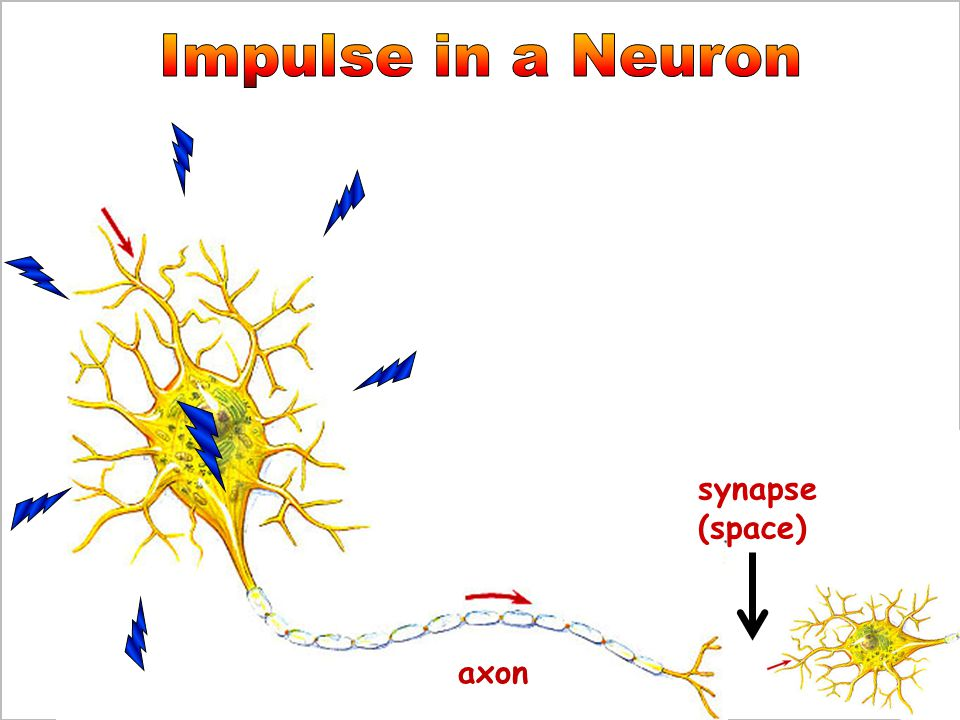 Impulse in a Neuron synapse (space) axon