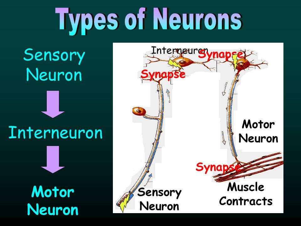 Sensory Neuron Interneuron Motor Neuron Types of Neurons Synapse
