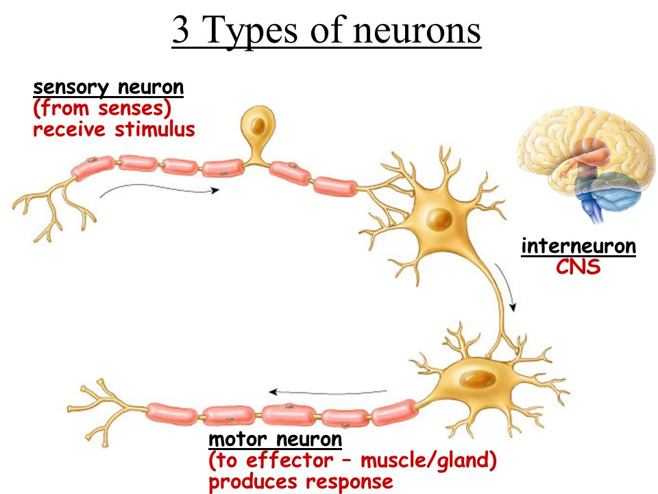 3 Types of neurons sensory neuron (from senses) receive stimulus
