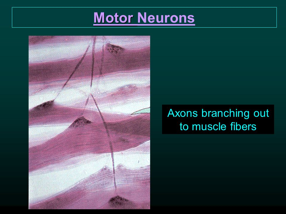 Axons branching out to muscle fibers