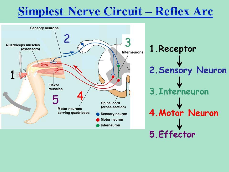 Simplest Nerve Circuit – Reflex Arc