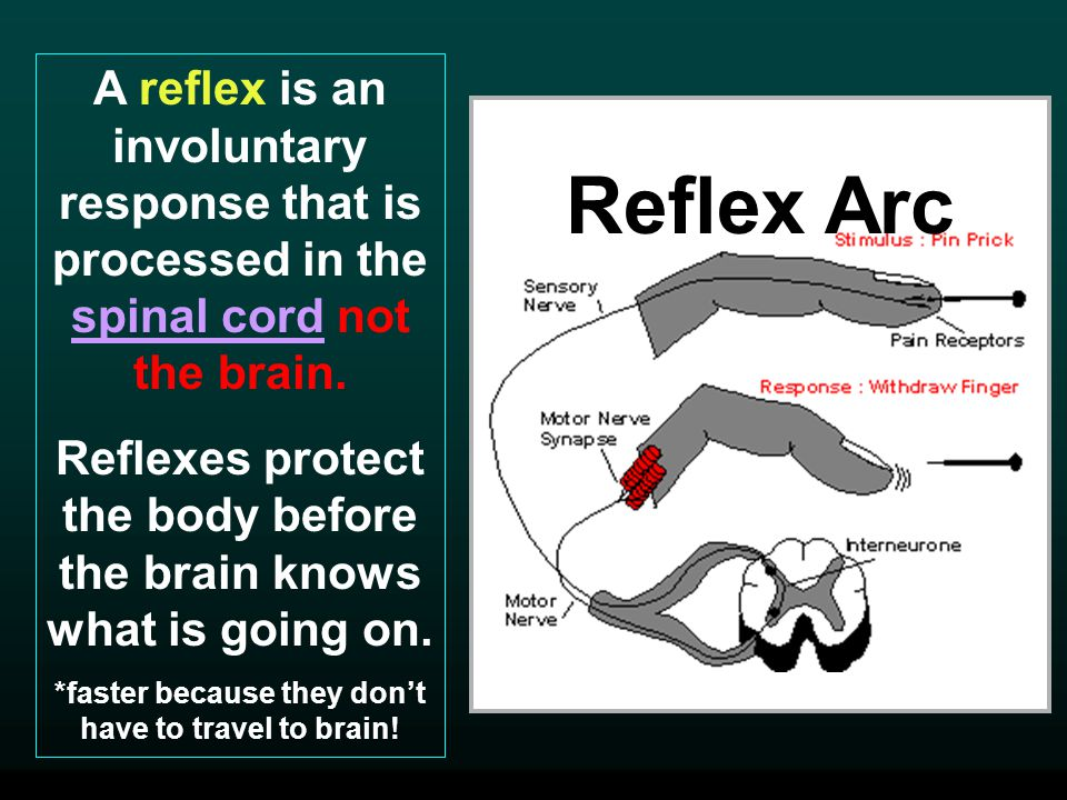 A reflex is an involuntary response that is processed in the spinal cord not the brain.