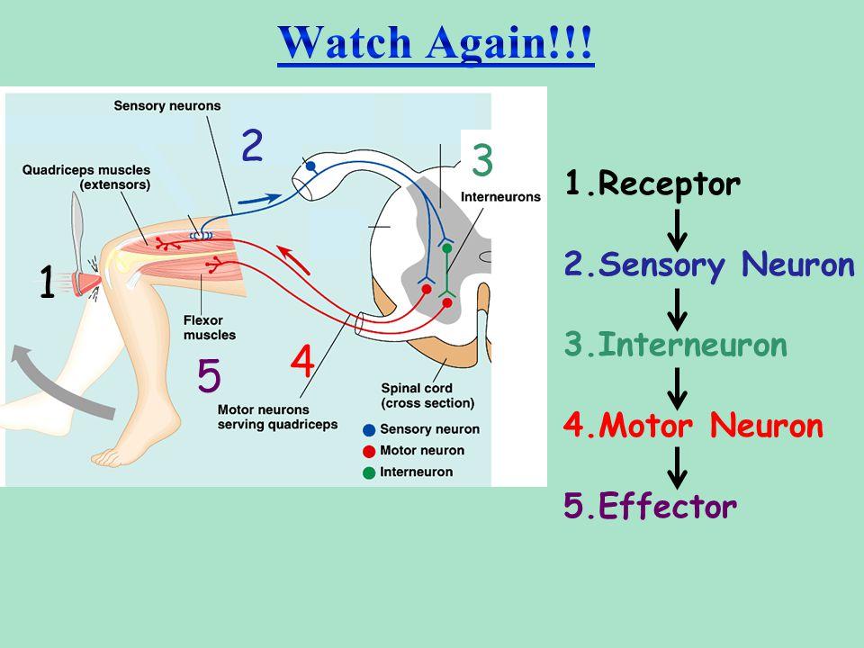 Watch Again!!! 2 3 1 4 5 1.Receptor 2.Sensory Neuron 3.Interneuron