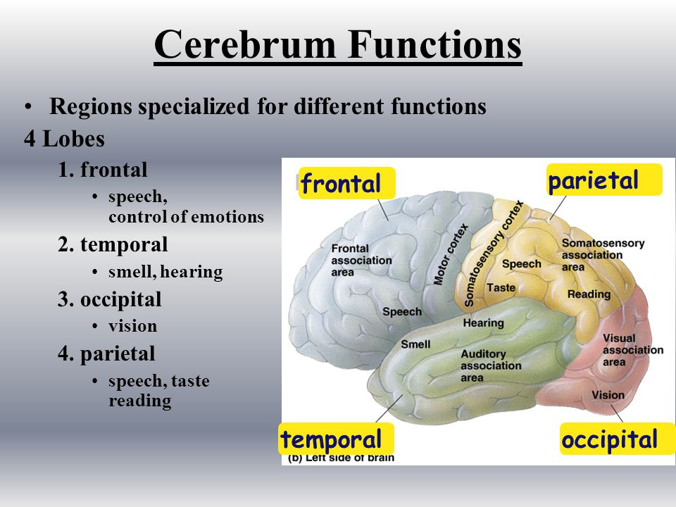 Cerebrum Functions Regions specialized for different functions 4 Lobes