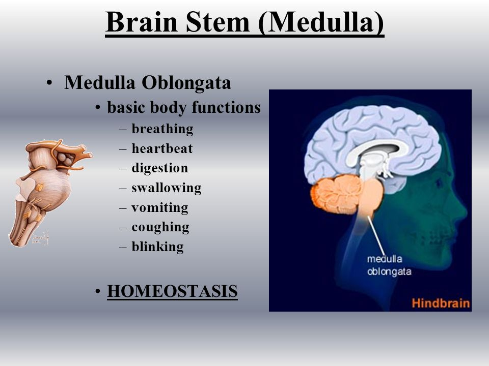 Brain Stem (Medulla) Medulla Oblongata basic body functions