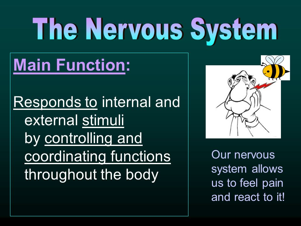 Main Function: The Nervous System