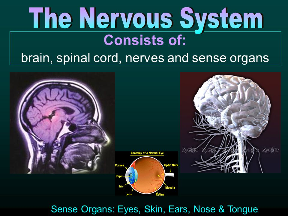 brain, spinal cord, nerves and sense organs