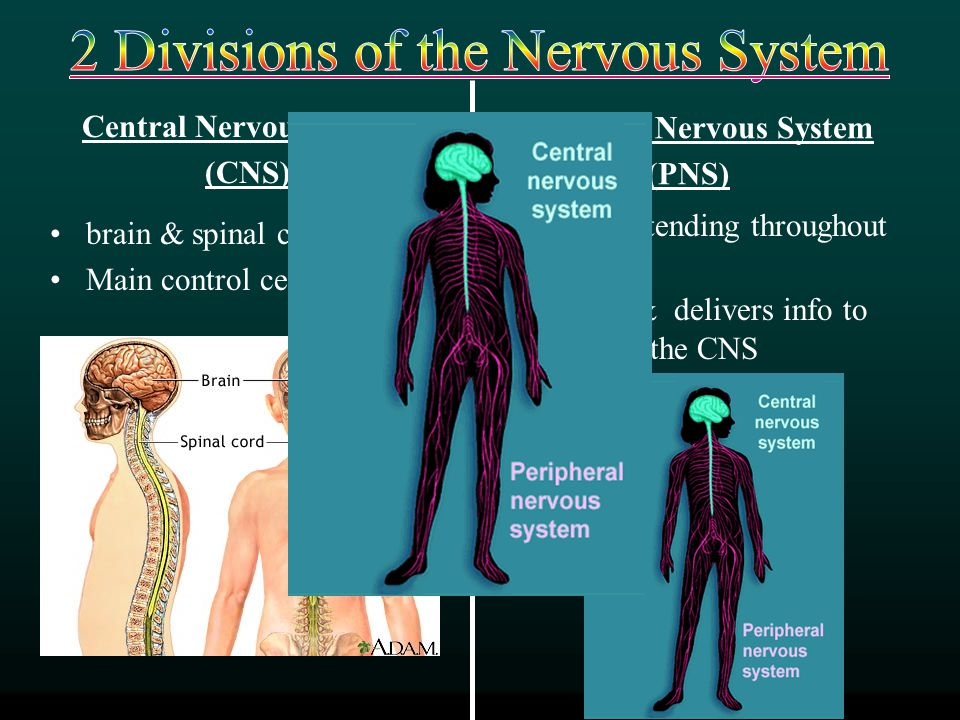 2 Divisions of the Nervous System
