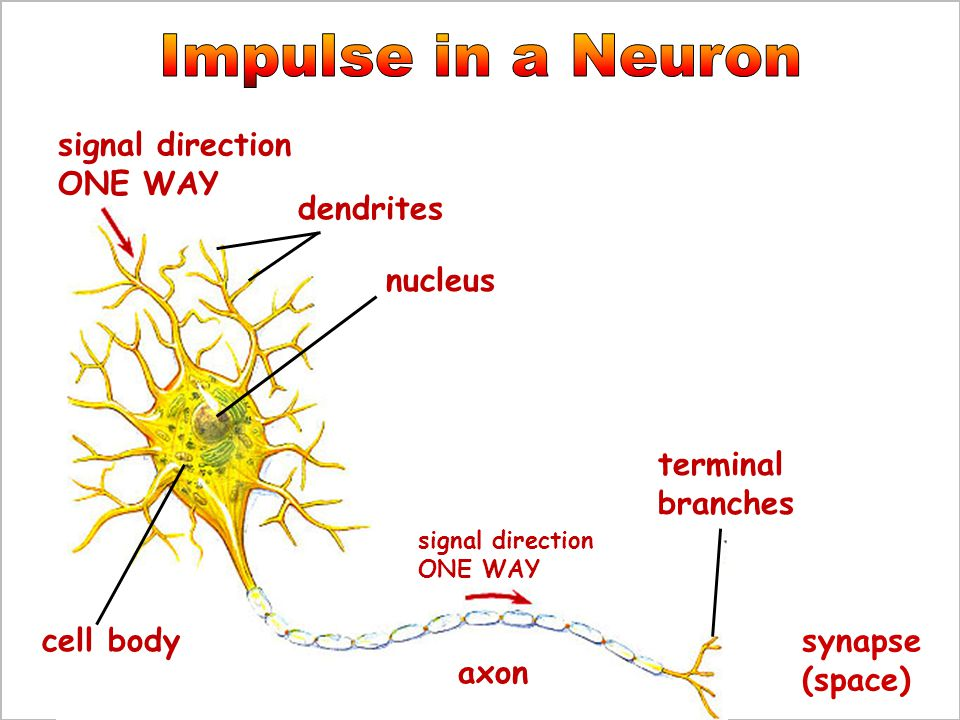 Impulse in a Neuron signal direction ONE WAY dendrites nucleus
