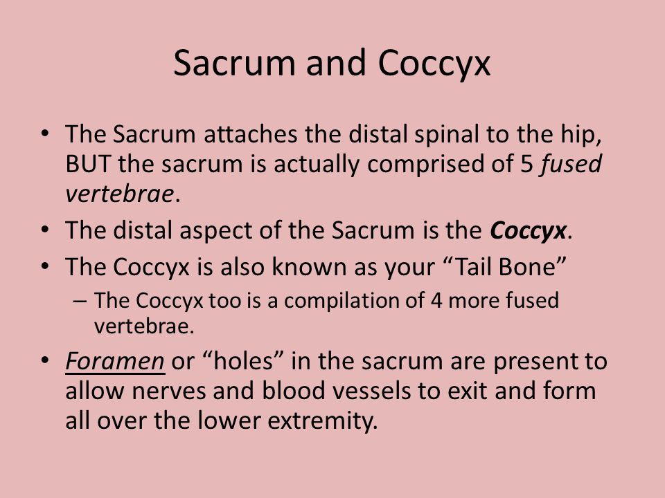 Sacrum and Coccyx The Sacrum attaches the distal spinal to the hip, BUT the sacrum is actually comprised of 5 fused vertebrae.