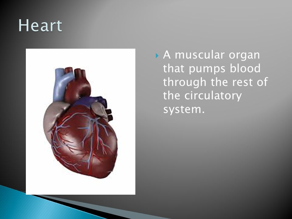 Heart A muscular organ that pumps blood through the rest of the circulatory system.