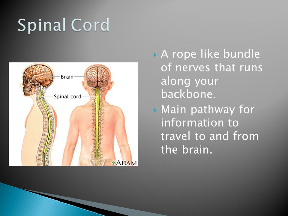 Spinal Cord A rope like bundle of nerves that runs along your backbone.