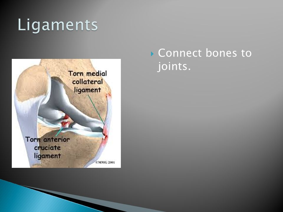 Ligaments Connect bones to joints.
