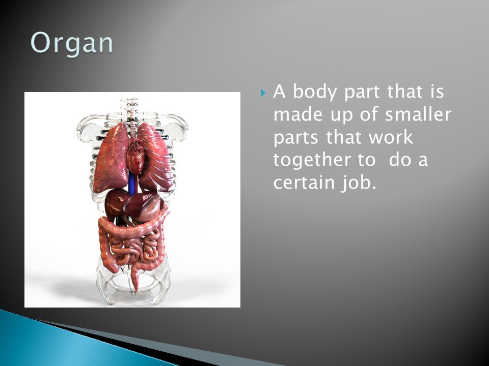 Organ A body part that is made up of smaller parts that work together to do a certain job.