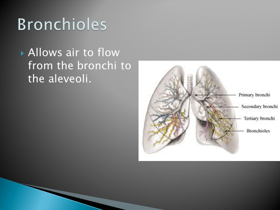 Bronchioles Allows air to flow from the bronchi to the aleveoli.