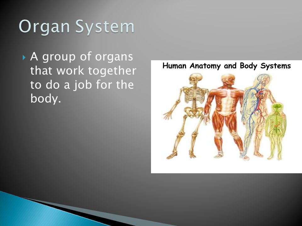 Organ System A group of organs that work together to do a job for the body.