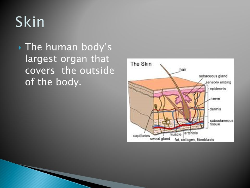 Skin The human body's largest organ that covers the outside of the body.