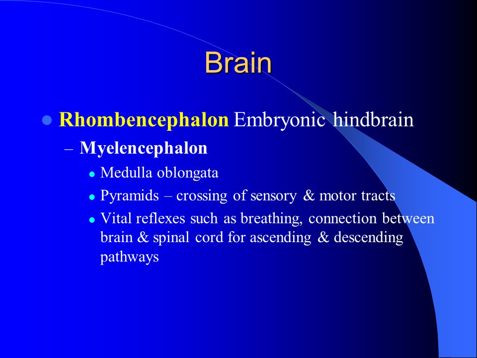 Brain Rhombencephalon Embryonic hindbrain Myelencephalon