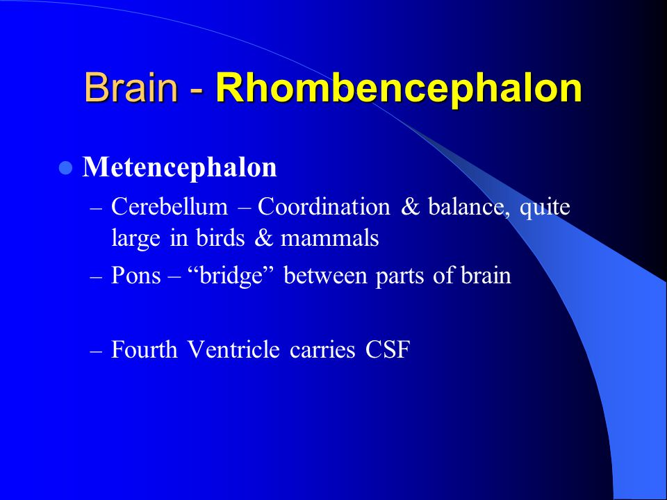 Brain - Rhombencephalon