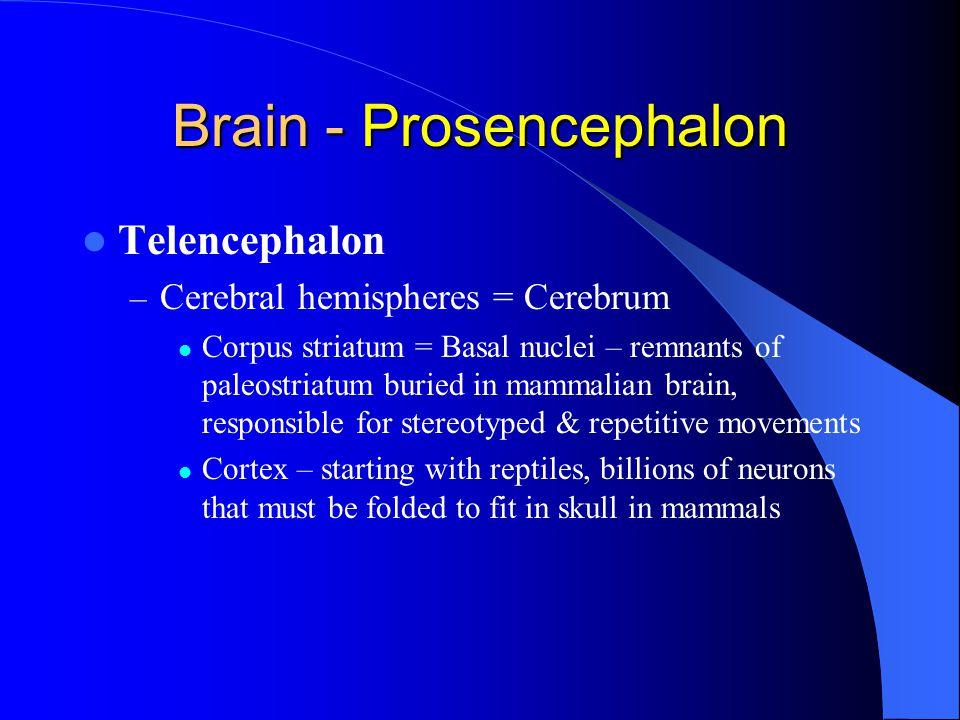 Brain - Prosencephalon