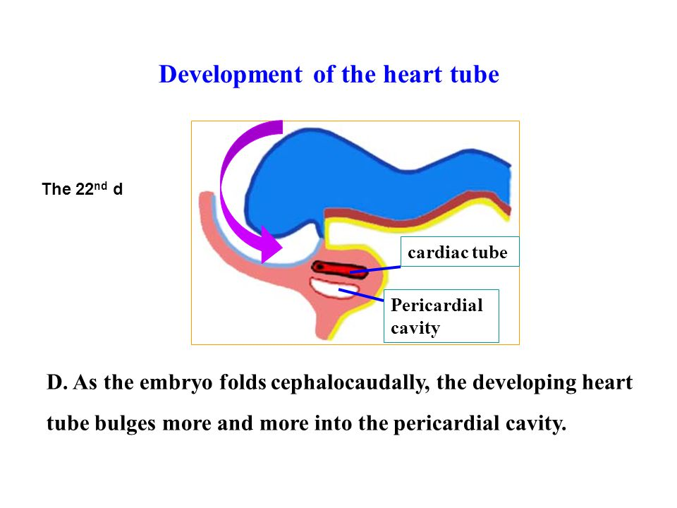 Development of the heart tube