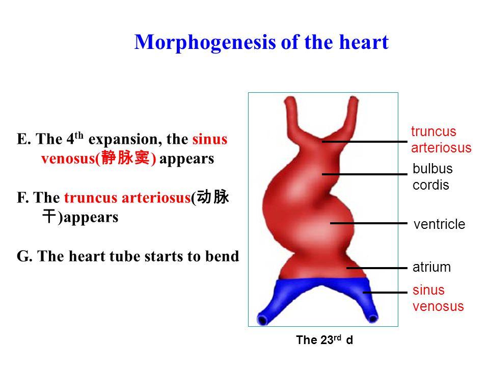 Morphogenesis of the heart