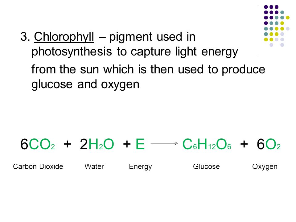 3. Chlorophyll – pigment used in photosynthesis to capture light energy from the sun which is then used to produce glucose and oxygen