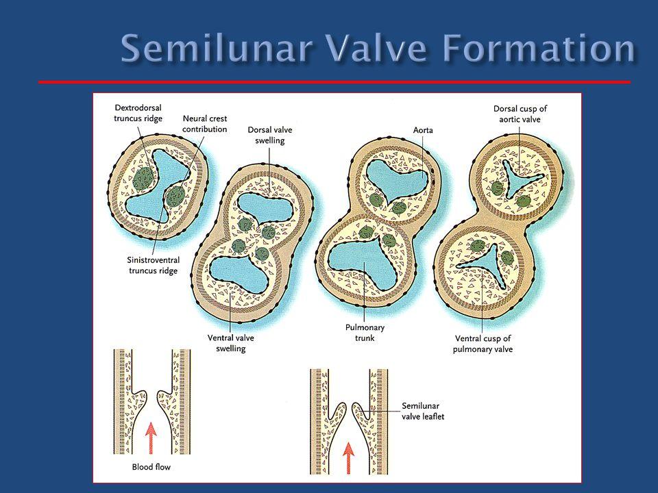 Semilunar Valve Formation