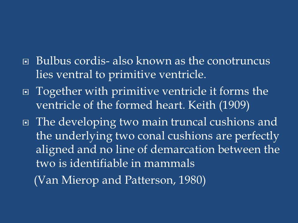 Bulbus cordis- also known as the conotruncus lies ventral to primitive ventricle.