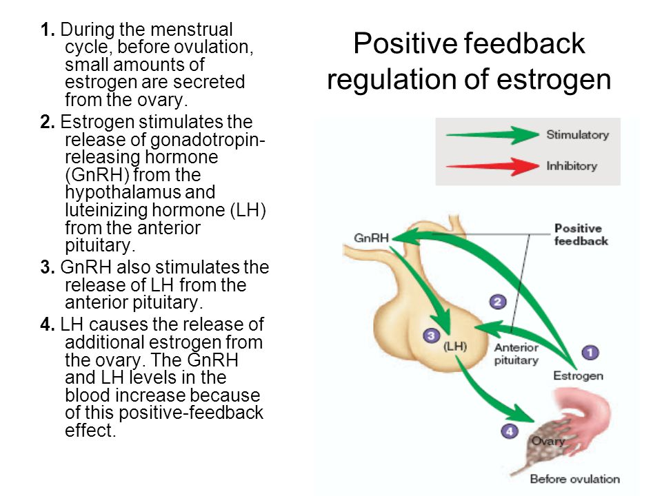 Positive feedback regulation of estrogen