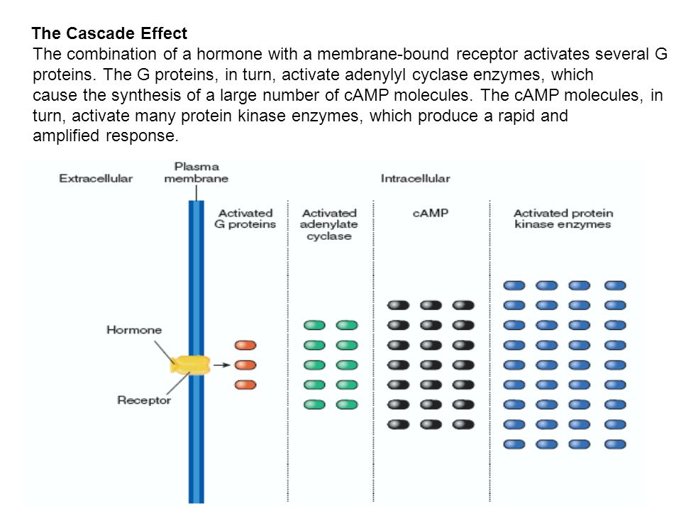 The Cascade Effect The combination of a hormone with a membrane-bound receptor activates several G proteins.